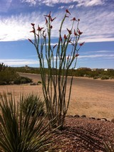 "Desert Ocotillo-Three 10""-12"" end cuttings - $10.00"