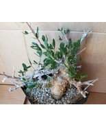 Commiphera foliacea Excellent Stunted Fat Trunk Bonsai Display 20 - $247.45