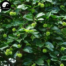 Buy Camptotheca Tree Seeds 200pcs Plant  Camptotheca Acuminata Tree For ... - $15.99