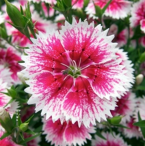 200 SEED Dianthus Chinensis PINK DIANTHUS - $4.65
