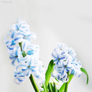 FF11 300pcs/lot Mixed Color Hyacinthus Orientalis Seeds Flower Easy Grow Seed De