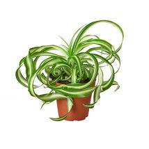 "Spider Plant Bonnie - 4"" Pot - Home Garden - Houseplant - Outdoor Living - D11 - $31.99"