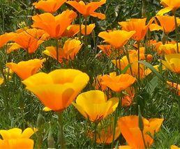 400 SEEDS - Beautiful California Poppy Seeds – Gardening – Perennials - SBC - $19.95
