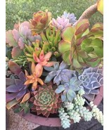 "100 mixed fresh succulent cuttings 1"" - 5""  some rare kalanchoe sedum cr... - $148.50"
