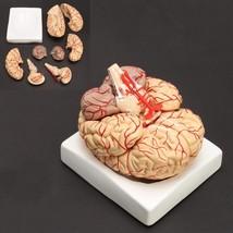 Human Brain Model Anatomy Life Size Medical Model Set 8 Parts Budget Art... - $75.64