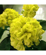 BEST PRICE 10 Seeds BELLFARM Geranium Yellow,DIY Decorative Plant ZQ016J DG - $5.99