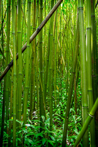 Bamboo Forest in Maui, Fine Art Photos, Paper, Metal, Canvas Prints - $40.00
