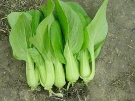 SHIP From US, 100 Seeds Petite Star Hybrid Pak Choi, DIY Healthy Vegetable AM - $30.99
