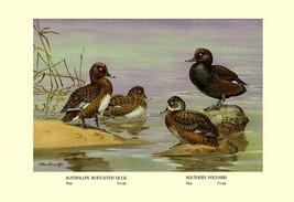 Australian White-Eyed and Southern Pochard Ducks by Allan Brooks - Art Print - $19.99+