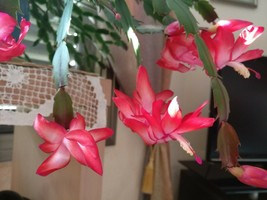 4 Christmas Cactus Schlumbergera Buckleyi Rooted Cuttings House Plant - $7.35