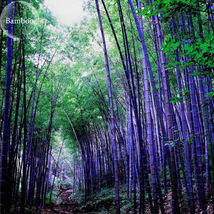30 Pcs Purple Giant Bamboo, Healthy Herbs Seeds TM - $8.56
