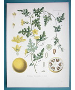 BITTER APPLE Medicinal Citrullus Colocynthis - Beautiful COLOR Botanical... - $21.42