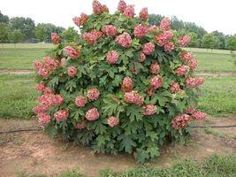 RUBY SLIPPERS Oakleaf  Hydrangea shrub image 6