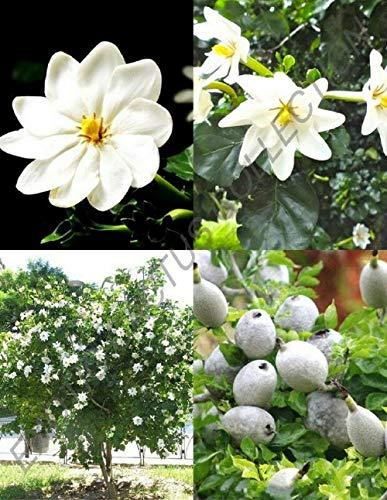 Primary image for Gardenia Thunbergia Rare Flowering Tropical Fragrant Forest Wild Seed 30 Seeds T