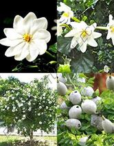 Gardenia Thunbergia Rare Flowering Tropical Fragrant Forest Wild Seed 30... - $50.49