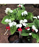 HS Garden - 50 seeds Clerodendrum Thomsoniae Bonsai Potted Hanging Plants - $2.55
