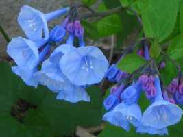 Virginia Bluebell wild flower 10 root- shade lover (Mertensia) image 1