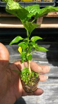 4 pcs Gentleman Hot Pepper live plants (Aji Caballero) Outdoor Living - $62.00