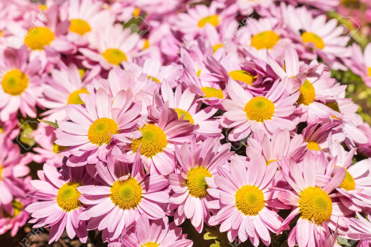 Primary image for Live Plants Shasta Daisy Pink mums Roots Chrysanthemum Flower Super Hardy