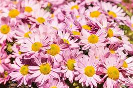 Live Plants Shasta Daisy Pink mums Roots Chrysanthemum Flower Super Hardy - $21.99