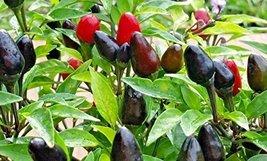 25 Seeds of Black Hawk Ornamental Pepper - $19.79