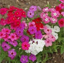 SHIP From US, 1/4 oz 3750 Seeds Phlox Annual Mix, DIY Decorative Plant ZJ - $33.30