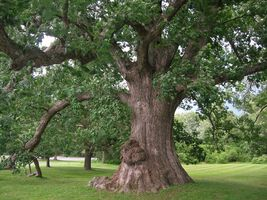 White Oak Tree-(quercus alba) image 5