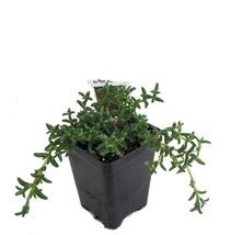 "2.5"" Pot - Desert Bonsai Ice Plant - Trichodiadema - House Plant Garden ... - $45.00"