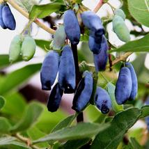 Egrow 200Pcs/Pack Lonicera Caerulea Fruit Seeds Home Garden Plants Honeyberry Bl image 2
