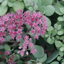 "48 Sedum ' Vera Jameson "" - Live Plant - Perennial Ground Cover - Succulent - $126.42"