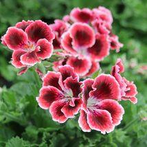 10 Red White Pink Geranium Seeds Flowers Perennial Flower Seed - $7.68