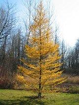30 Western Larch Tamarack Tree Seeds Larix occidentalis - $12.88
