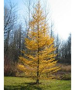 30 Western Larch Tamarack Tree Seeds Larix occidentalis - $10.88