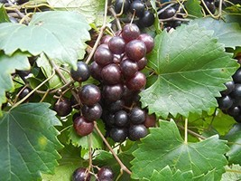 1 Bare Root of Creek Muscadine 2-4' Black and Red Varieties - £31.65 GBP