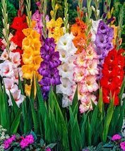 12 X Large Bulbs Hybrid Gladiolus Bright Mixture - $31.68