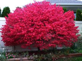"""Dwarf Burning Bush plant 4"""" pot Hardy Shrub (Euonymus Alatus) image 1"""