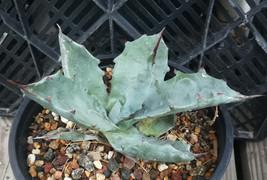 Agave colorata v. colorata Tubular Rosette Succulent Plant 14 - $9.85