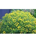SHIPPED FROM US 1,000+GREAT St.JOHNS WORT Wildflower Herb Shrub Seeds, CB08 - $17.00