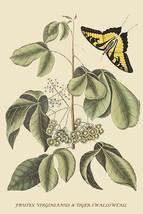 Frutex Virginianus & Caudatus Maximus Butterfly by Catesby Catesby #2 - Art Prin - $19.99+