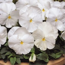 White Pansy Seeds, White Viola Seeds White Pansies Heirloom Seed 50pcs - $9.99