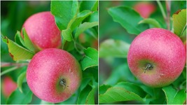 Red Delicious Apple Tree (3-4') - Home Gardening Outdoor Living - $79.99