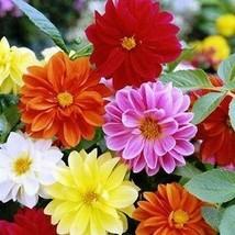 Dahlia Unwins Bedding Mix Flower Seeds (Dahlia Variabilis) 30+Seeds - $5.92+
