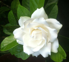 "Gardenia - Frost Proof - Cape Jasmine - White -1 Plant - 4"" Pot - Very F... - $37.99"