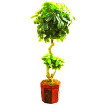 6' Schefflera Artificial Tree in Bamboo Planter - $312.00