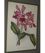 Lindenia Print Limited Edition Laeliocattleya Hrubyana Orchid Collector ... - $16.14