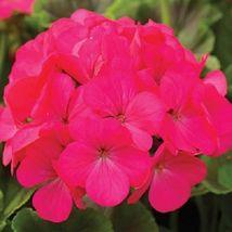 15 Seeds - Maverick Rose Geranium - $9.99