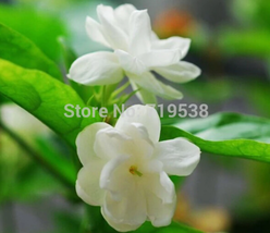 Jasmine flower bonsais, fragrant plant arabian Jasmine 20pcs - $2.99