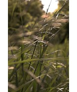 Big Bluestem Grass Seeds | Tall Bluestem Grass Seeds | 10 seeds - $12.84