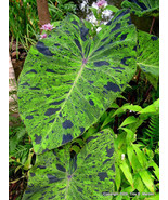 2 Plants - 'Mojito' Elephant Ear - 1 Gallon Plant - Colocasia esculenta - $60.00