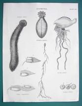 ZOOPHYTES Genus Physalia Diphye Holoothuria etc - 1841 Fine Quality Print - $13.77